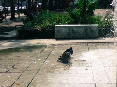 Pigeon bath