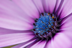 African Daisy (PopPhoto of the Day Dec 22nd 2014)