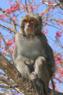 台灣獼猴因入侵農田造成農損,林務局被迫解決。(攝影:賴鵬智)
