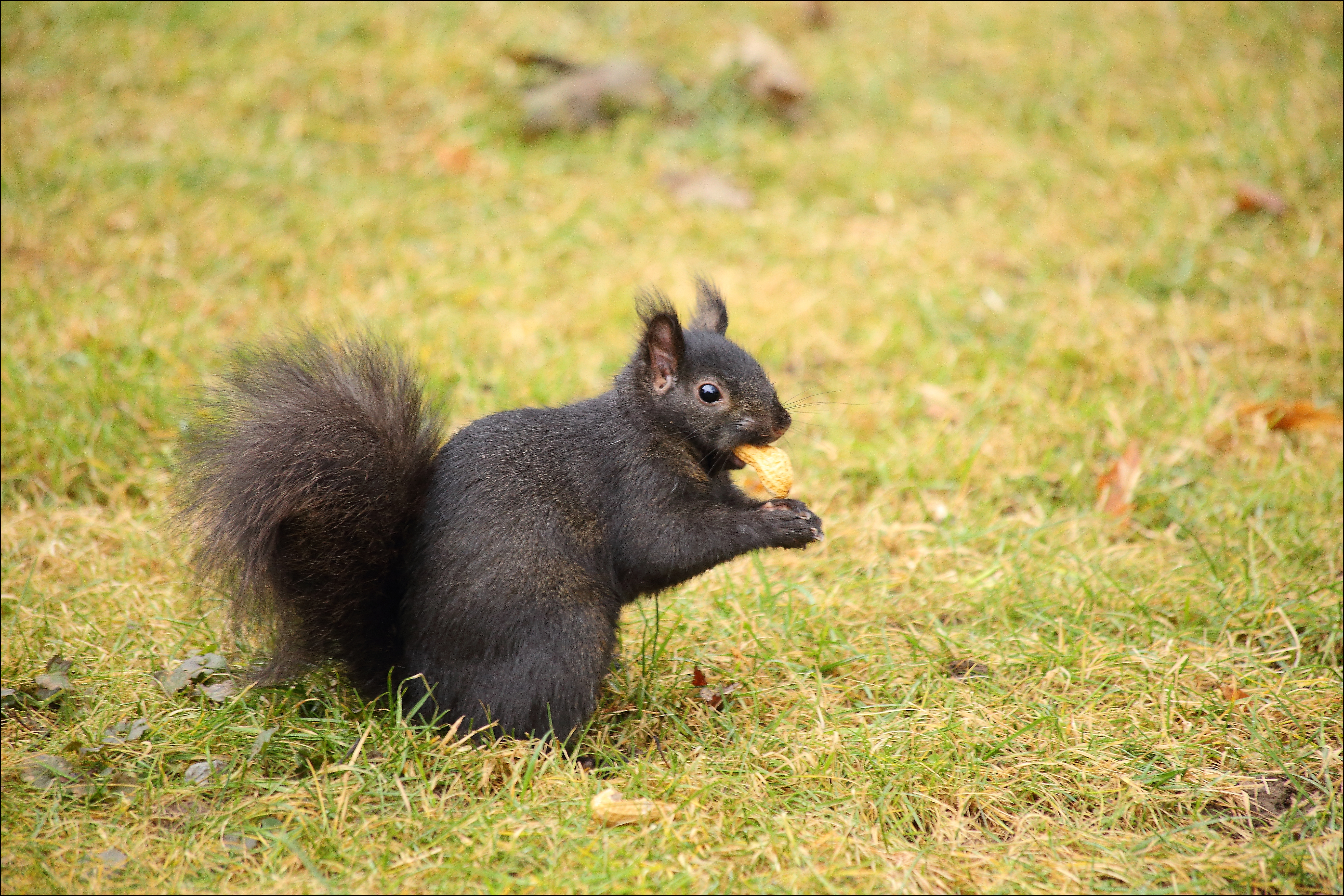Our Friend Tuffy. black, canon, squirrel, 6d. buy photo