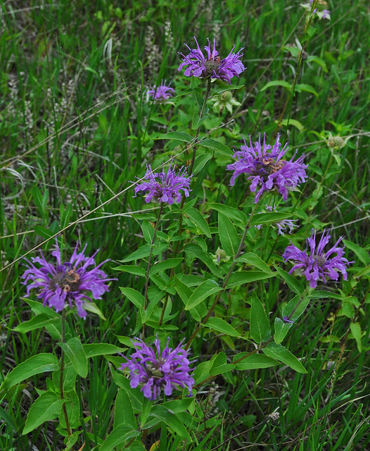 Roxborough Park - Monarda fistulosa