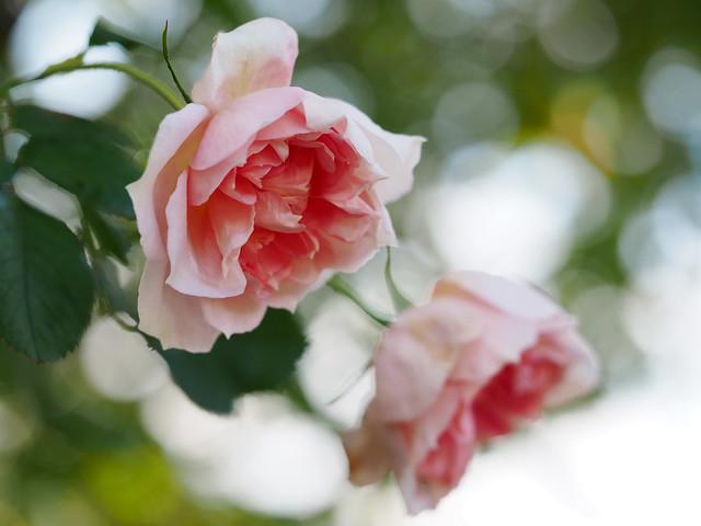Photo:Rose, English Elegance, バラ, イングリッシュ エレガンス, By T.Kiya