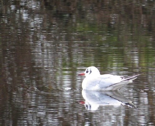 741 Llyn Padarn Black-headed Gull Reflections