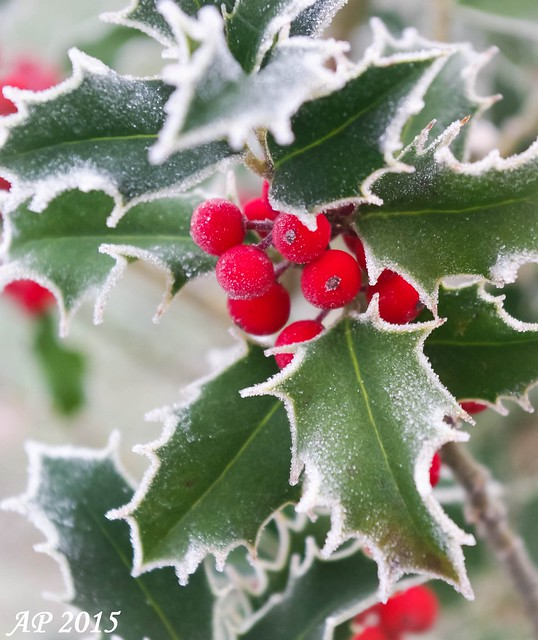 Houx givré / Frosted Holly