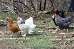 chickens IMG_1203c