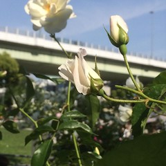 earlier❤︎  #latergram #nofilter #nakanoshima #rose #osaka #japan #中之島バラ園 #大阪 #薔薇