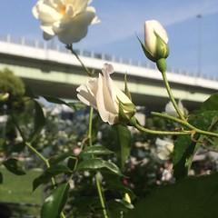 earlier❤︎  #latergram #nofilter #nakanoshima #rose #osaka #japan #中之島バラ園 #大阪 #薔薇