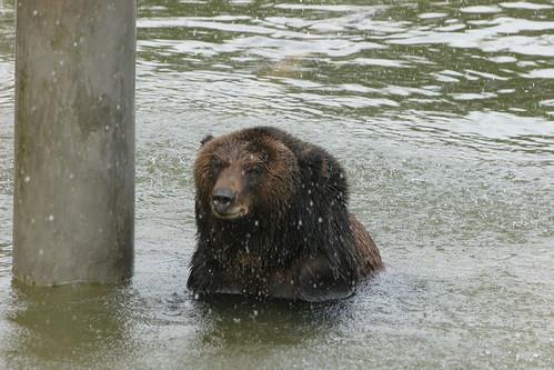 Caesar goes swimming at the China sanctuary
