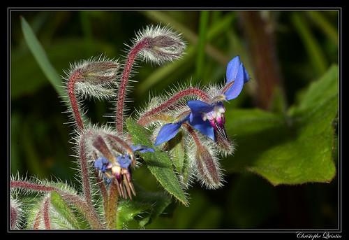 Bourrache officinale (Borago officinalis)