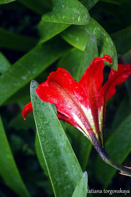 Красный амарилис
