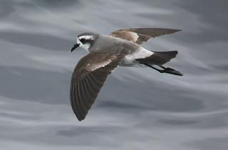White-faced Storm-Petrel Pelagodroma marina