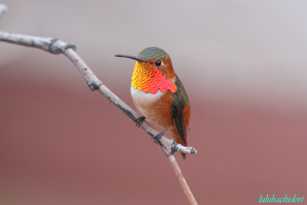 Allen's Hummingbird-111214