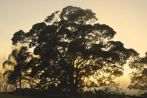 Sunrise Fig