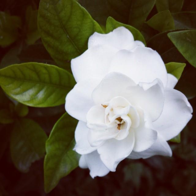 November in Redlands part 2, this gardenia smells incredible! #fbp