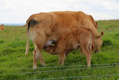 Nursing calf, Cliffs of Moher
