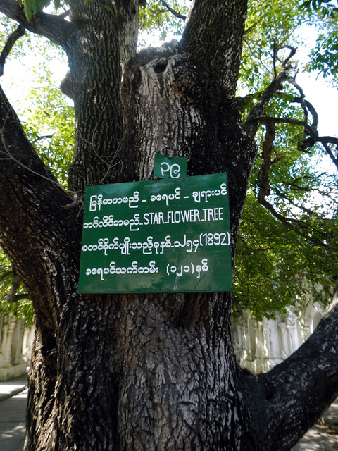 Starflower Tree at Kuthodaw Pagoda in Mandalay