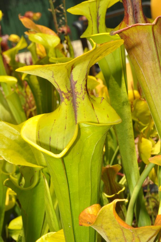 Sarracenia flava var. flava distorted by wind