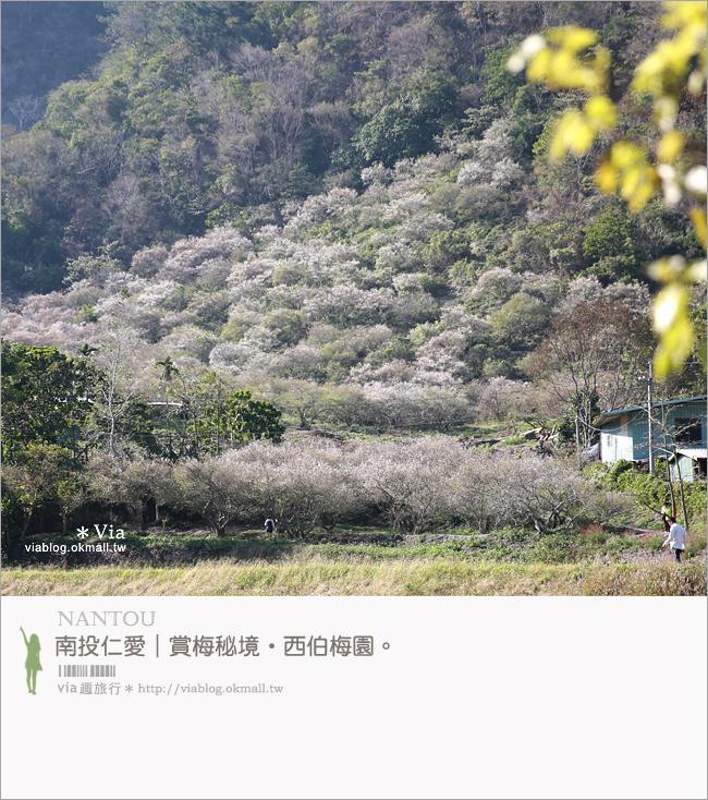 【南投梅花秘境】仁愛鄉「西伯梅園」~和互助國小梅園來個賞梅一日遊1