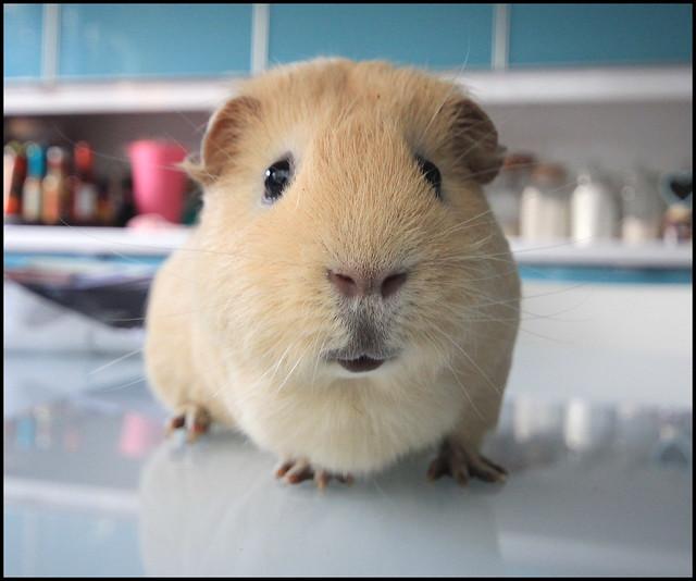 Guinea pig heaven flickr photo sharing