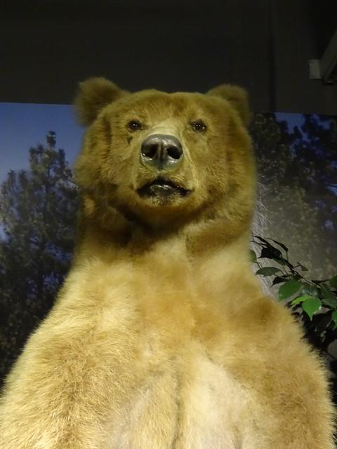 00514368阿拉斯加大棕熊