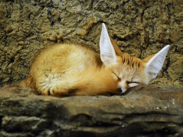 Snoozing Fennec Fox