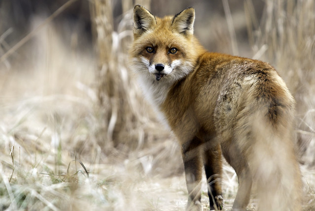 Kelly Colgan Azar - Red Fox with prey, possibly to be cached.