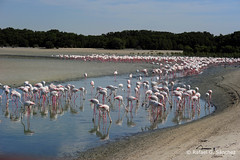 Greater flamingo - Flamant rose - Flamenco común - Phoenicopterus roseus