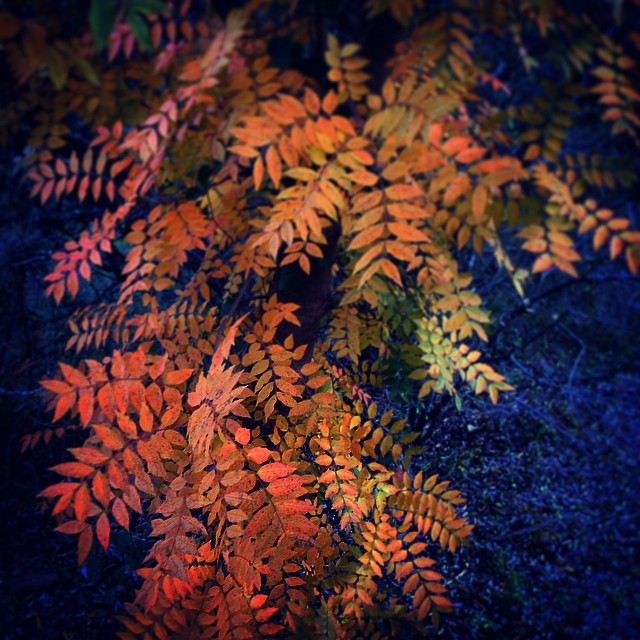 Sumac autumn.