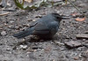 Gray Catbird Thompson Center 11-19-14-7878