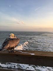 My pelican friend