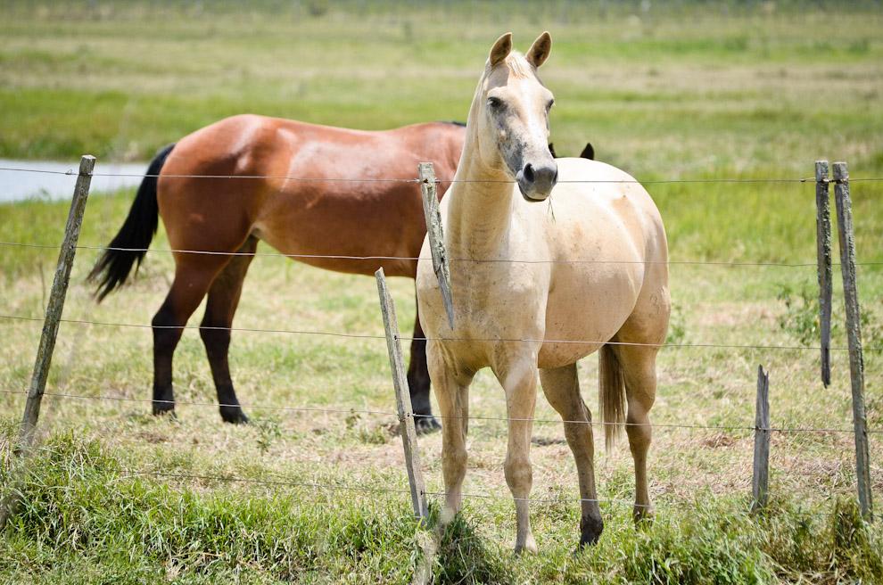 Hermosos caballos forman parte del conjunto del paisaje de granja en Laguna Campo María,  en dicha localidad existen granjas que practican la genética en caballos, vacas y cerdos. (Elton Núñez)