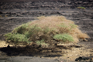 Bush tree close to Assal Lake, Djibouti