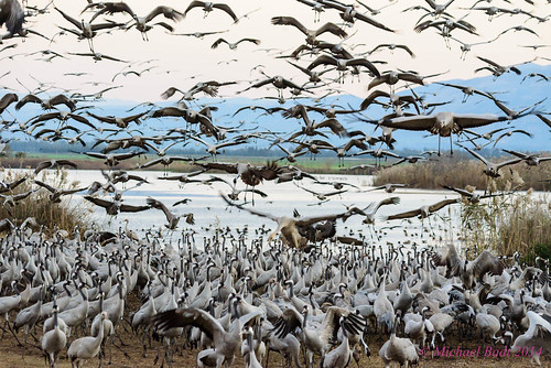 birds animals israel cranes naturelandscape northdistrict emekhulah