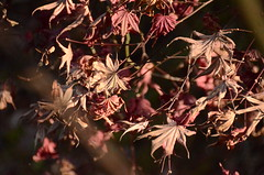 枯れ葉 / dead leaves