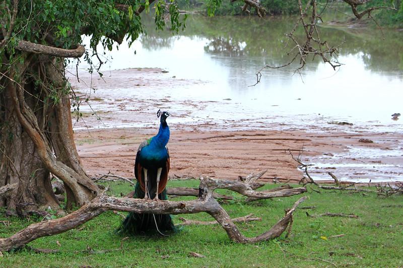 Peacock - Yala National Park