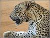 Leopard awake