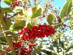 shrub(0.0), flower(0.0), strawberry tree(0.0), plant(0.0), crataegus pinnatifida(0.0), chokecherry(0.0), produce(0.0), food(0.0), schisandra(0.0), evergreen(1.0), berry(1.0), branch(1.0), fruit(1.0), aquifoliaceae(1.0), rowan(1.0), aquifoliales(1.0), hawthorn(1.0),