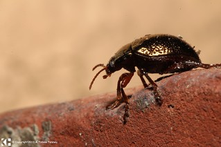 Beetle with Metallic Looking Exoskeleton