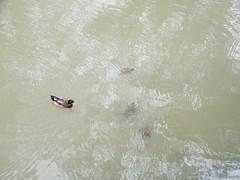 Ducks Turtles - but No Platypus!