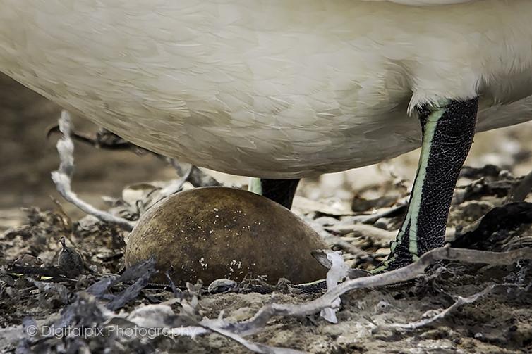 Gannet Egg