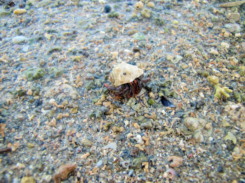 Sao Tome Hermit Crab 2