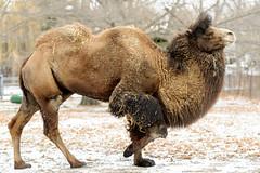 Camel Prancing