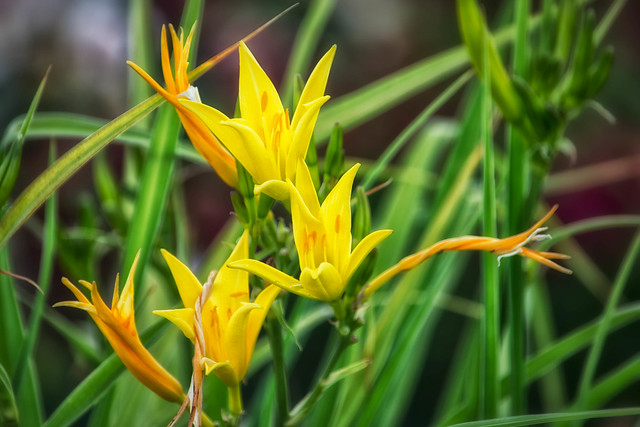 Yellow Lily.jpg