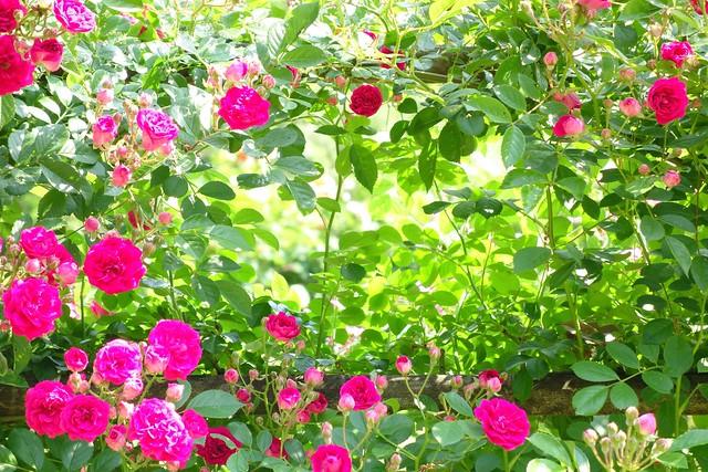 Nozuta Rose Garden #1