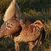 Sharp-tailed Grouse in the early morning sun by annkelliott