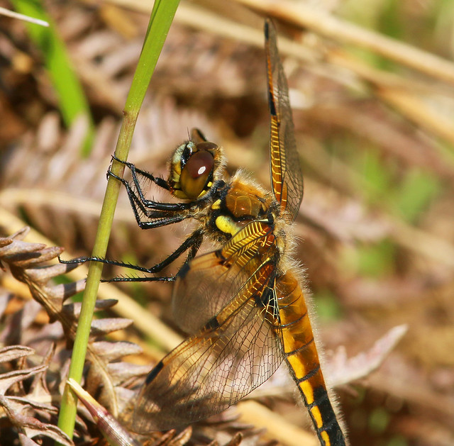Four-spot Chaser,Crowle Moor NNR,Lincolnshire.