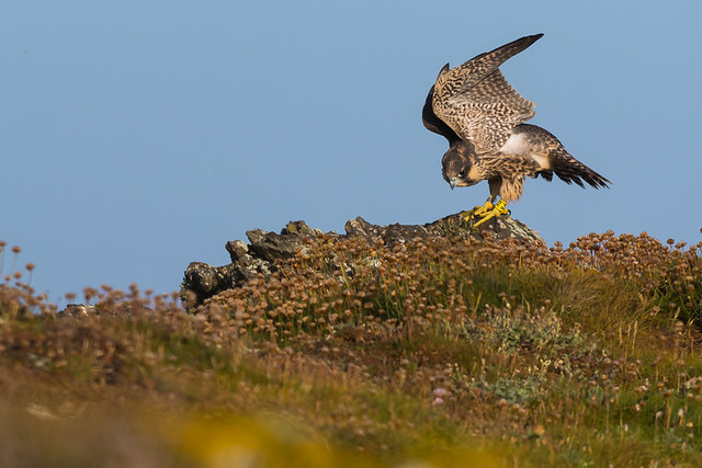 Peregrine chick spending its wings