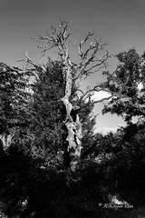 Dead Oak In Black And White