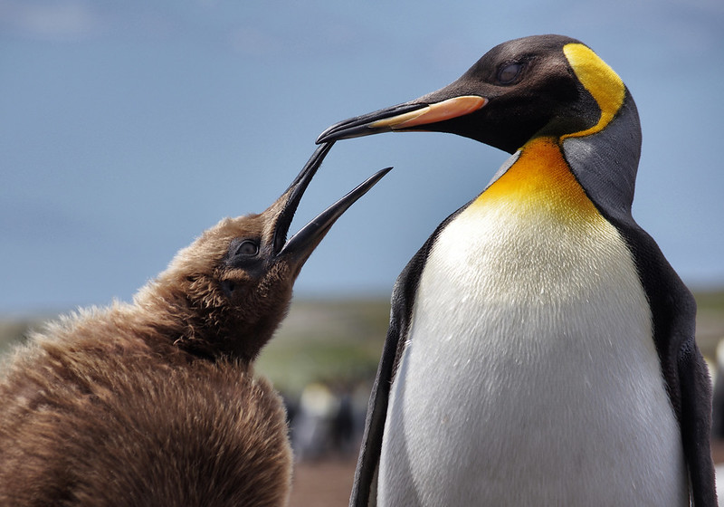 King penguin and fluffy baby