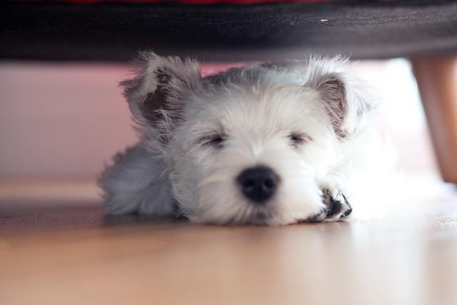 Maggie Westie Puppy What Olivia Did